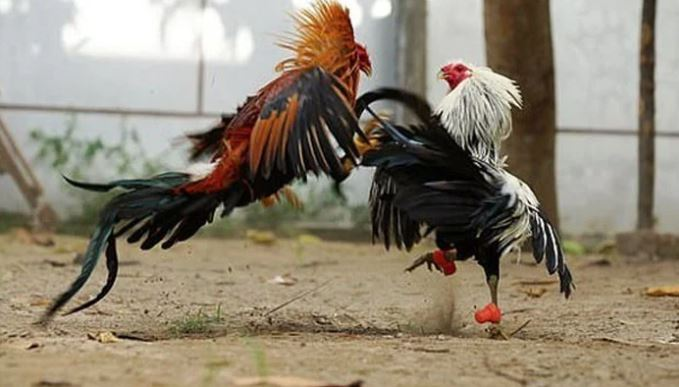 election fight with hen